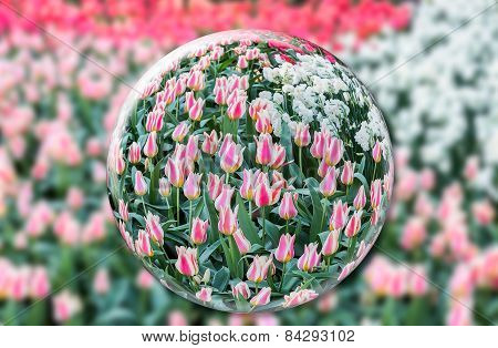 Glass sphere with red white tulips in front of flowers field