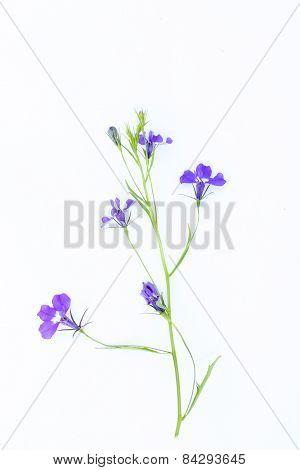 Lobelia Flowers On White
