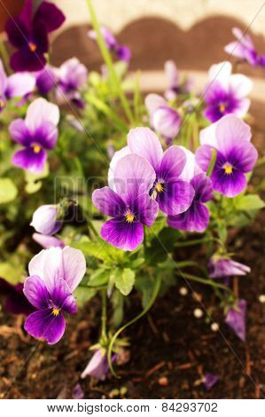 Violet Pansy Flowers Close Up
