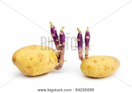 Two potatoes with hairy stems