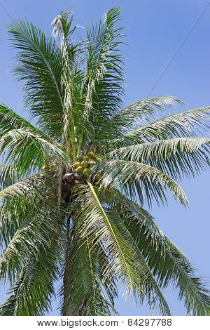 Coconut Tree Against The Sky