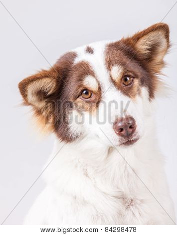 Dog Portrait On White Background