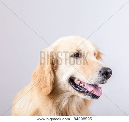 Golden Retriever Dog With White Background
