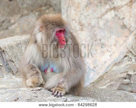 Funny Japanese Monkey