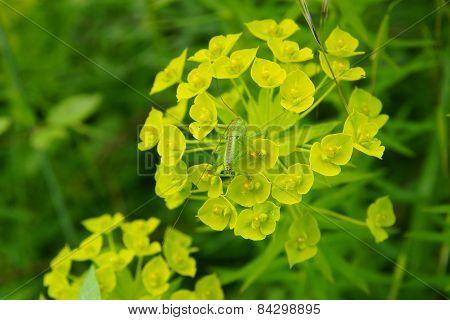 euphorbia wild flower