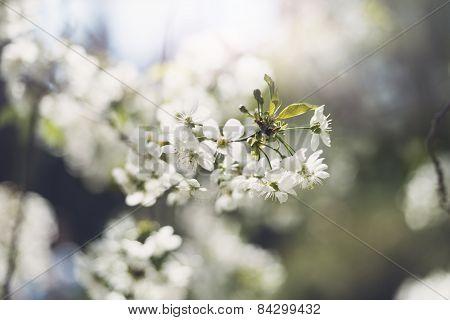 Flowers of blossom tree