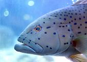 stock photo of grouper  - This is a Leopard grouper in the sea Aquarium - JPG