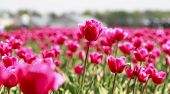pic of glorious  - Glorious array of pink tulips in the flower fields of Holland - JPG