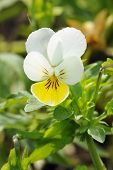 picture of viola  - Wld Pansy - Viola tricolor