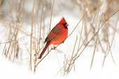 image of cardinal  - Male northern cardinal perched on a branch following a winter storm - JPG