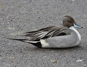 picture of pintail  - Northern Pintail lying on a snowless section of parking lot next to frozen over pond.