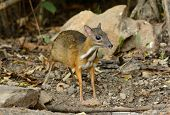 picture of field mouse  - beautiful male Lesser Mouse - JPG