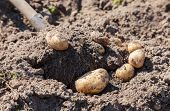 stock photo of grown up  - Digging up fresh home grown potatoes close up - JPG