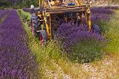stock photo of lavender field  - lavender harvest Rhone - JPG