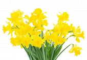 image of daffodils  - bunch of bright spring yellow daffodils close up isolated on white background - JPG