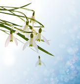 picture of blue-bell  - Snow bells isolated on blue background - JPG