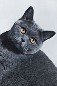 image of portrait british shorthair cat  - Portrait of young short - JPG