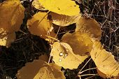 picture of cottonwood  - Yellow cottonwood leaves with morning dew near Engenhahn in the Taunus mountains Hesse Germany - JPG
