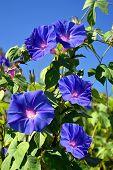 stock photo of trumpet flower  - Blue Trumpet vine flowering on the Algarve in Portugal - JPG