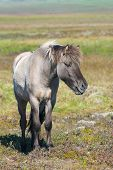 pic of iceland farm  - Gray Icelandic horse with gray mane on green background - JPG