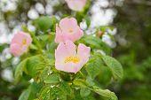 image of dog-rose  - pink dog roses spring blooming flowers close up - JPG