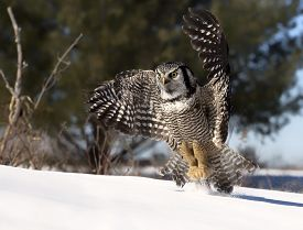 picture of hawk  - Northern Hawk Owl flies low - JPG