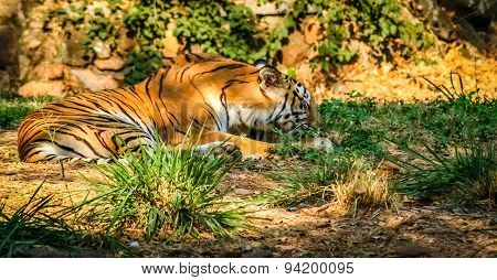 Striped tiger in captivity in the zoo in Mysore, India