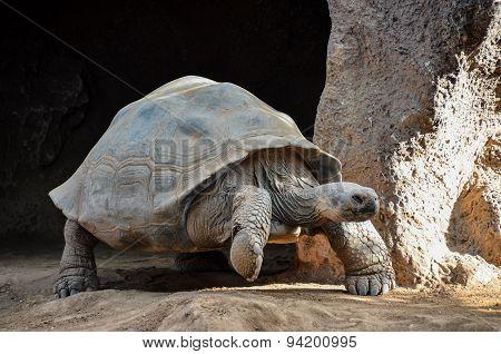 Galapgos Earth Tortoise Turtle