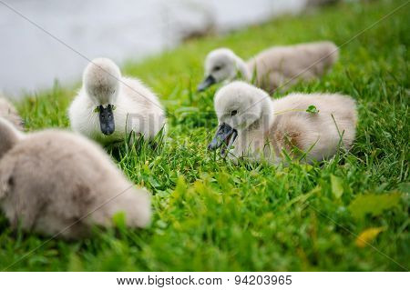 Adorable Baby Swan With Group Of Siblings