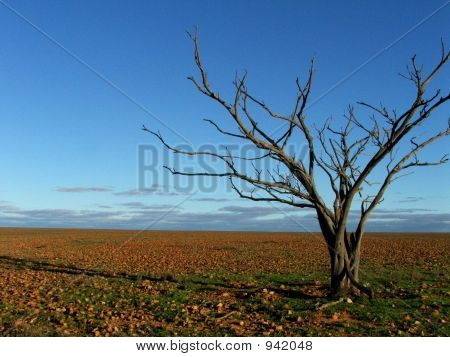 Dead Tree On Gibber Plain