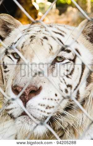 Locked Tiger