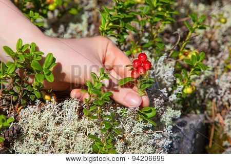 Young woman picking lingonberry in forest close-up view.