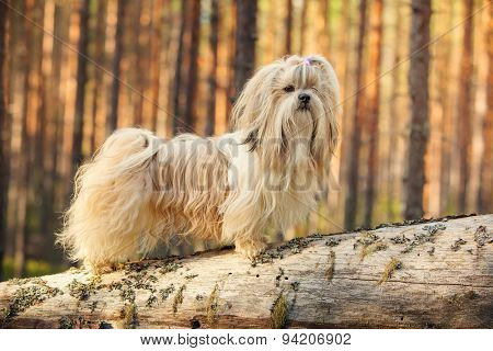 Shih-tzu dog standing on tree trunk in forest.