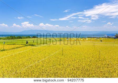 Rice field near lake Toba in North Sumatra, Indonesia