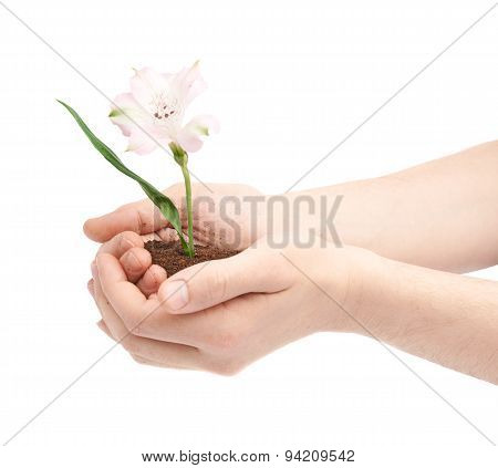 Two hands holding a flower in handful of ground