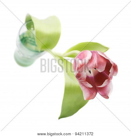 Pink magenta tulip flower isolated