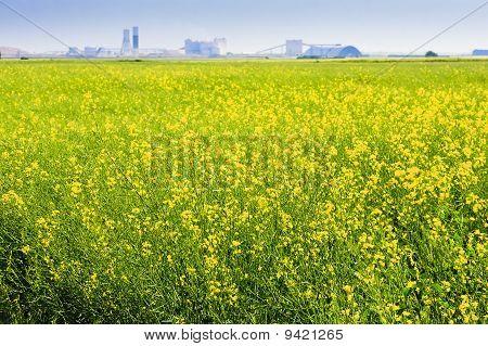 Canola Field On The Prairies