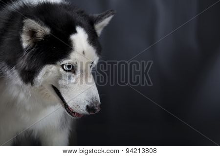 Alaskan Malamute Or Husky Dog