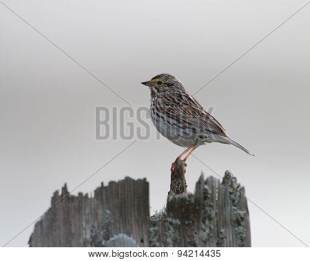 Savannah Sparrow at rest