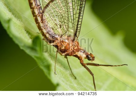 Large Mayfly On A Green Leaf