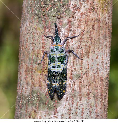 Pyrops Viridirostris Lantern Bug