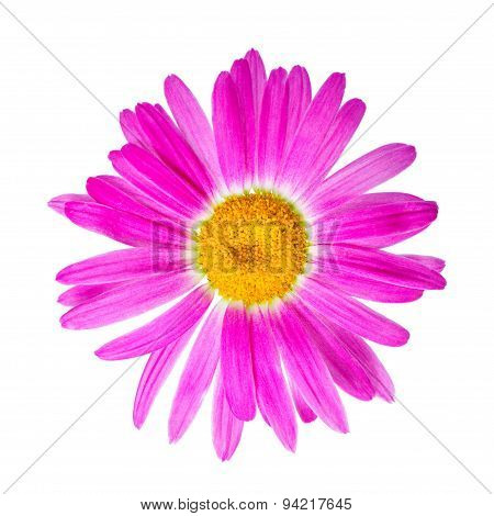 Pink Chamomile Flower Is Isolated On White Background, Closeup