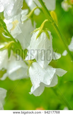 Closeup White Hand Bell Flower With Rain Drops On A Green Blur Background, Closeup