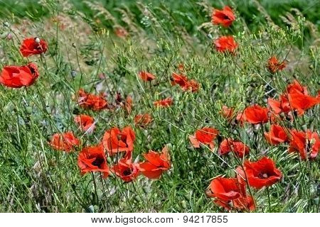 Red poppies on the outskirts of wheat chain