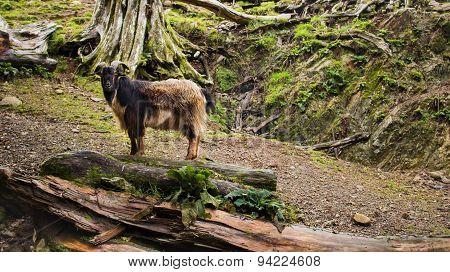 One Arapawa Goat