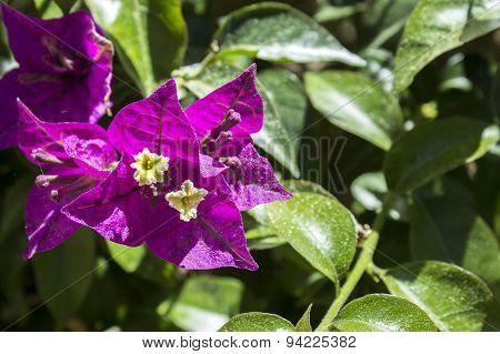 Bougainvillea Spectabilis Flower Detail.
