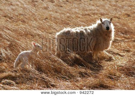 Lamb  Ewe