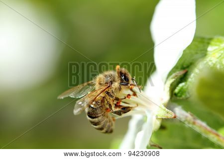 Detail Of Honey Bee