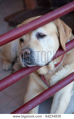 Labrador dog breed bored after the gate of his house