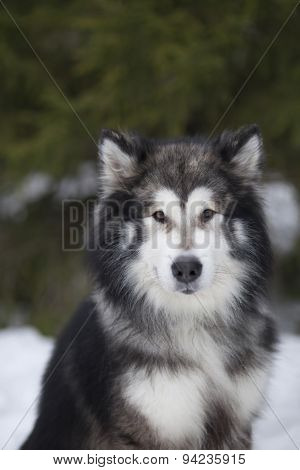 Malamute Dog, Winter